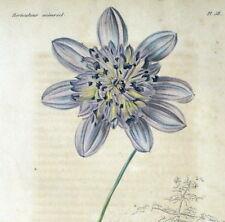 Flower Dahlia in tree Arborea excelsa Botany Original engraving 1839