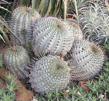 Copiapoa cinerea EXTREM RARE Kaktus Cactus WE Astrophytum Aztekium Echinocactus