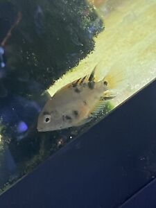 * CALICO/MARBLE CONVICT CICHLIDS * BUY 3 GET ONE FREE!!