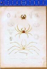 Crustaces-Crabs-Crustaceans -1849 Zoology Exploration scientifique de l'Algerie
