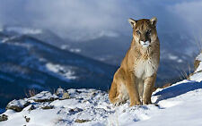Framed Print - Mountain Lion Sitting in the Snow (Picture Animal Cougar Puma Art