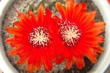10 Parodia sanguiniflora SEEDS SAMEN SEMI KORN no ariocarpus huernia stapelia