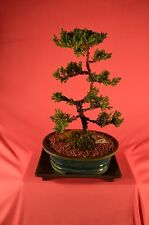 BONSAI, TRADITIONAL BONSAI, JAPANESE JUNIPER,UPRIGHT STYLE,10 YEARS OLD.