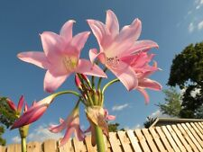 Crinum Lily, Pink Flamingo, medium-size bulb, NEW, super rare