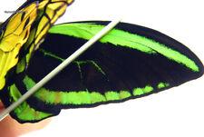 Unmounted Butterfly/Papilionidae - Ornithoptera priamus poseidon, PAIR 4