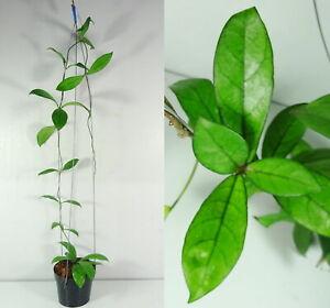 Hoya Crassipetiolata, 15 Inches Healthy Mature Plant, RARE, Garden