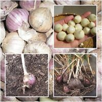 Single Clove Garlic 50 Bulbs, Solo Garlic, Heirloom Herbs From Thailand