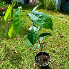Tropical Fruit SOURSOP TREE Guanábana BIG TREE