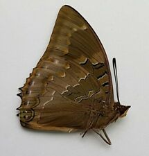 Butterfly : RARE Charaxes xyphares burgesii from Burundi