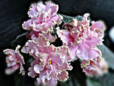 African Violet leaves (2) Rm-Vesna (N.Skorniakova, Russia)