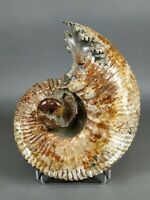 Big Ammonite. Matrix-free