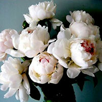 Peony Seeds Sorbet Robust Cream White Yellow Double Flowers Garden Big Bloom