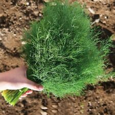 Seeds Dill Alligator Vegetable Organic Heirloom Russian Ukraine