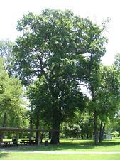 Shumard Oak Tree Quercus shumardii Heavy Established Roots Gallon Pot - 1 Plant