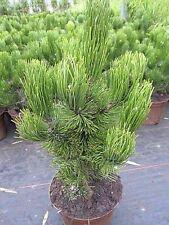 Pinus heldreichii Helmers Japan 25-30, sehr kompakte Form d. Schlangenhautkiefer