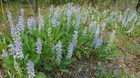 Sky-blue Lupine (Lupinus diffusus) ✤ 100 Seeds