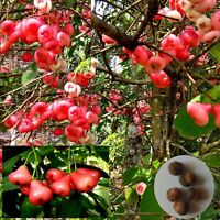 Rose Apple / Syzygium samarangense / Java Apple /Red Apple /Chambakka / 10 Seeds