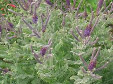 Amorpha canescens  (100 graines )