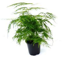 "Asparagus Plumosa Fern - Asparagus setaceus - 4"" Pot"