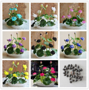 10 Bowl Lotus Flower Seeds Mixed Colorful Rare Water Lily Aquatic Plants Garden