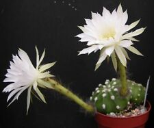 Echinopsis Full Sun Cactus & Succulent Plants