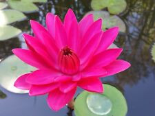 TROPICAL WATER LILY PLANT 'Antares' - NIGHT FLOWERING VIVID COLOUR!