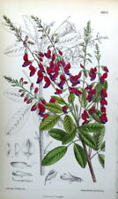 LESPEDEZA BICOLOR  Asia J N Fitch Antique Botanical Vintage Shrub Print 1882