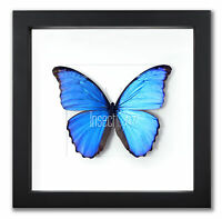 "Morpho didius ""Der große blaue Morpho"" Echter Schmetterling im Holzrahmen"