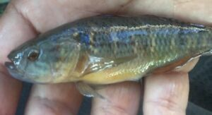 """1 Fat Sleeper Goby Texas Fish Sm ass 3.5"""" Jade Gobie Colorful Fresh Water Pet"""