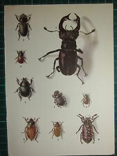 VINTAGE NATURAL HISTORY PRINT ~ INSECTS VARIOUS BEETLES STAG