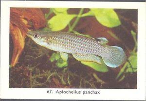Rizla (NL) - Exotic Aquarium Fish, Series 2, overprint back - 67 - Blue Panchax