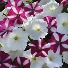 ~ Easy Wave STARFISH * Trailing Petunia * 20 Pelleted Seeds