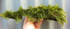 JAVA Moss on 6 in Bog wood * Taxiphyllum barbier * Live Plants
