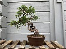 Chin. Wacholder (Juniperus chinensis) Itoigawa / Hilker-Schale / Bonsai