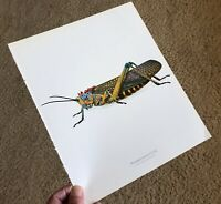 Durin Print SHORT-HORNED GRASSHOPPER Phymateus 10.5x13in NICE nsect PRINT L@@K!*
