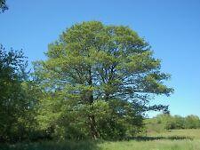 Alnus glutinosa Common Alder Tree Seeds!