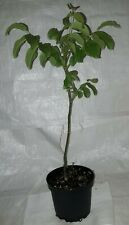 English Walnut, Juglans regia Tree in a  5 Litre Rigid Pot.