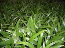2x Trachycarpus fortunei - Hanfpalme - Jungpflanze 15-20cm - Winterhart -18°C