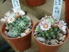 Mammillaria Schiedeana Giselae ML677(20 SEEDS) Cactus Samen Korn Semi Graine 種子