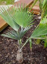 Trachycarpus sp. Nova Green Princeps Stone Gate Palm Hardy to -15C/5F! 25 seeds