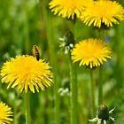 Dandelion- 100 Seeds- BOGO 50% off SALE