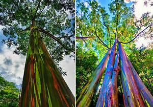 Eucalyptus deglupta (Rainbow Eucalyptus - 150 Viable seeds - Beautiful rare tree