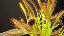 50 Semi di Drosera Capensis + guida alla coltivazione - Pianta Carnivora