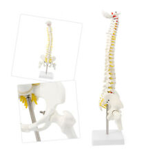 Life Size Vertebral Column Human Spine Anatomical Model Skeleton Medical Teach