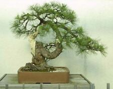 25 x Ponderosa Pine Tree semi di semi di ALBERO. che può essere utilizzato per bonsai.