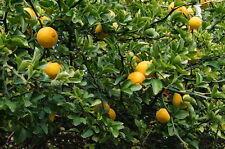 Bitterorange Poncirus trifoliata dreiblättrige Orange Pflanze 10cm winterhart