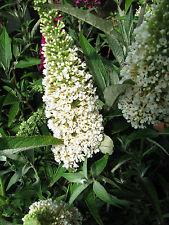 Sommerflieder Buddleja davidii Peace 40-60cm Insektennährpflanze Sommerblüher