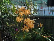DO7 - Softcane Dendrobium Orchid 'Coral Orange' in 60mm pot