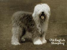 OLD ENGLISH SHEEPDOG VINTAGE IMAGE ON DOG GREETINGS NOTE CARD