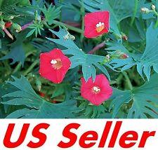 40 Pcs Seeds of Cardinal Climber Flowers G52, Garden Annual Flowers